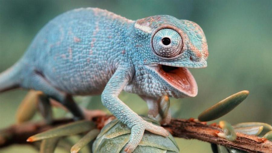 Científicos alemanes descubren líneas invisibles en piel de camaleón
