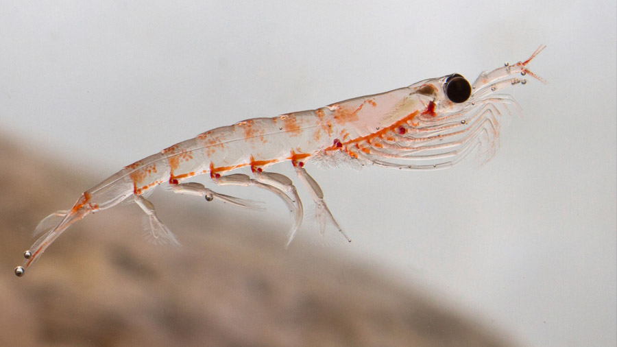 Aceite de krill: 3 beneficios para la salud que la ciencia respalda