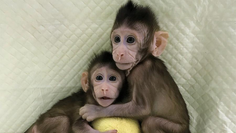 Conoce a Zhong Zhong y Hua Hua, primeros monos clonados como Dolly