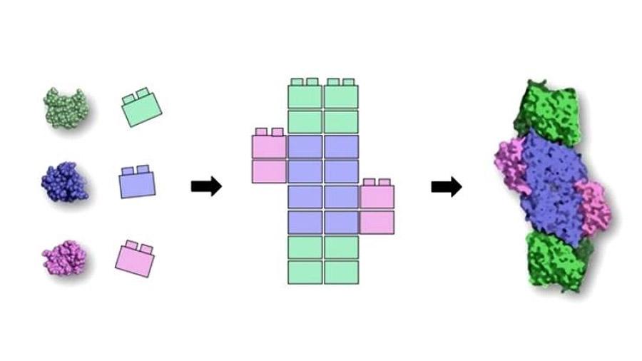 Descubren los 'legos de la vida': que se unen para construir la miríada de proteínas de los organismos