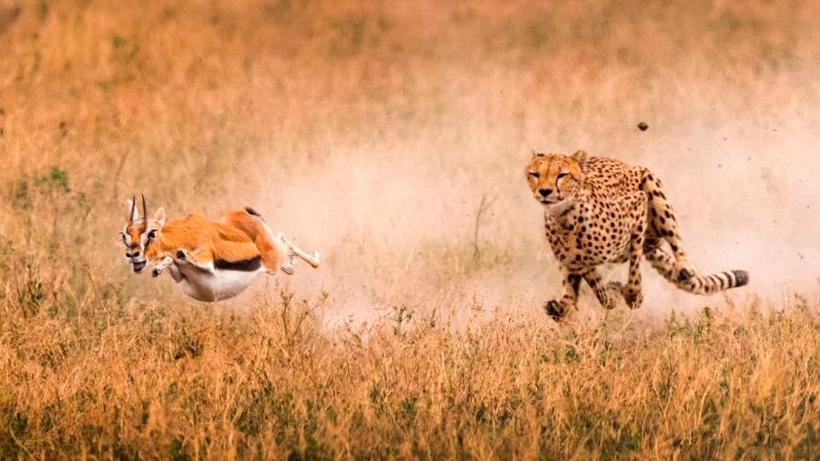 Descubren el truco de los impalas para escapar de los guepardos