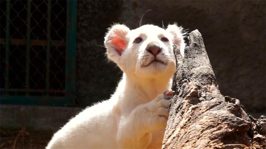 Nace el primer león blanco en cautiverio en México