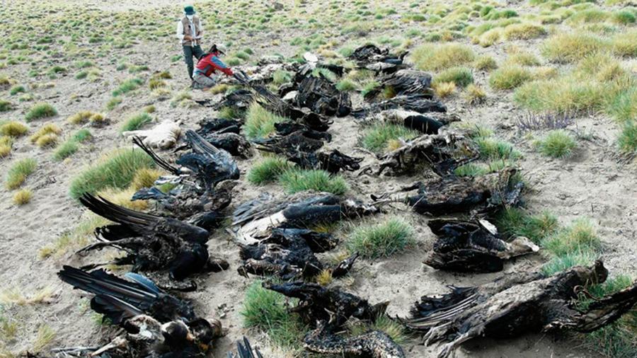 Muerte de 34 cóndores andinos pone en riesgo a la especie