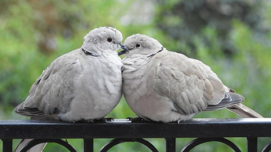 A falta de machos, las palomas prefieren una pareja hembra que la soledad