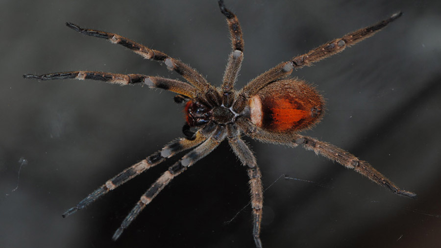 Si te pica esta araña, en lugar matarte, te provoca una erección de varias horas