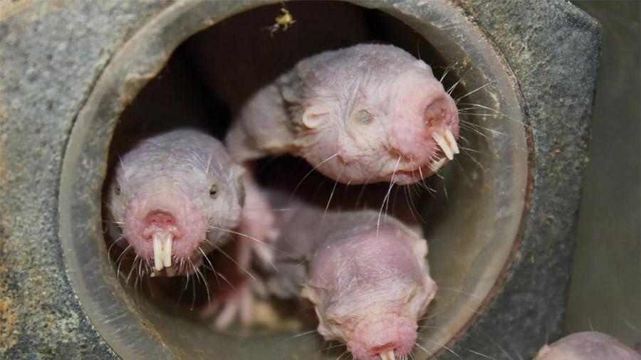 """Ratas topo, el animal que no cumple la """"ley natural"""" del envejecimiento"""