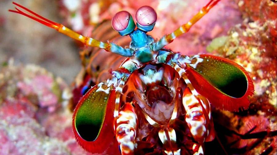Así da su golpe mortal la gamba mantis
