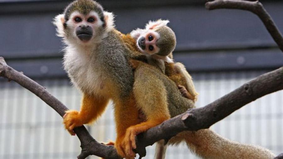Diarreas y muertes: el escandaloso experimento de adicción a la nicotina en monos que cambio la investigación animal en EU