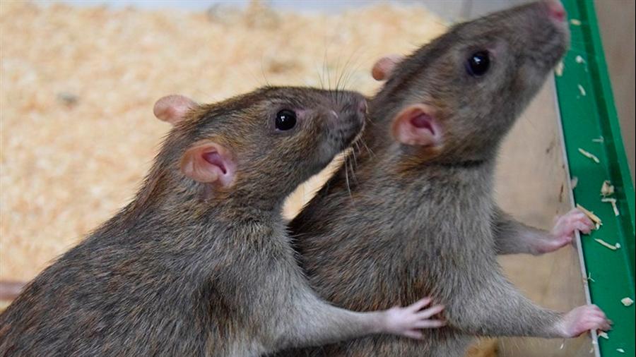 Las ratas también intercambian servicios básicos