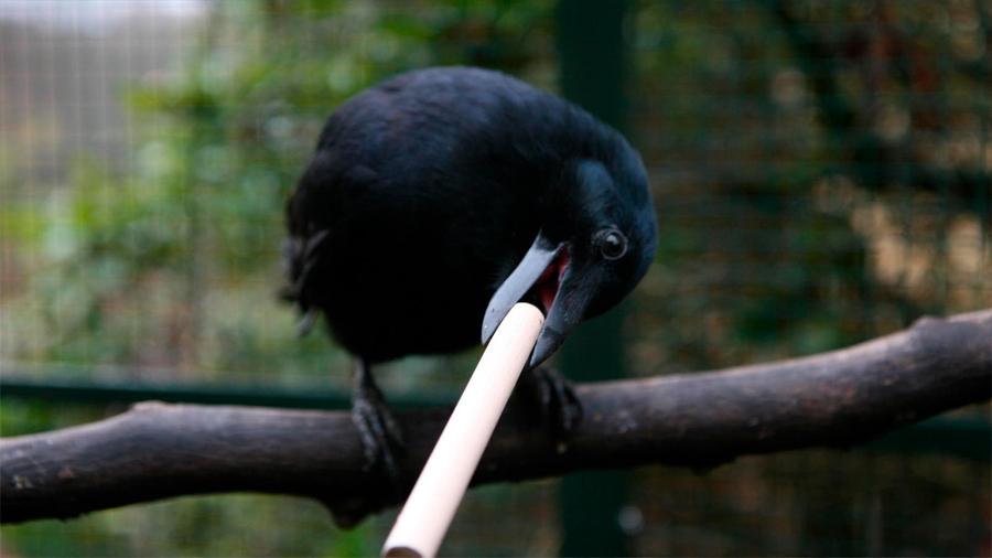 Estas son las increíbles aves capaces de fabricar herramientas de caza