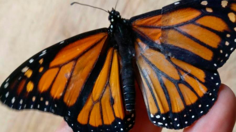 Científicos logran trasplantar a una mariposa para que vuele de nuevo