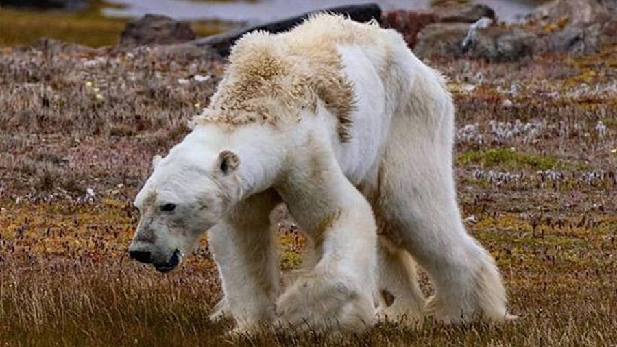 Confirmado: Los osos polares se están consumiendo