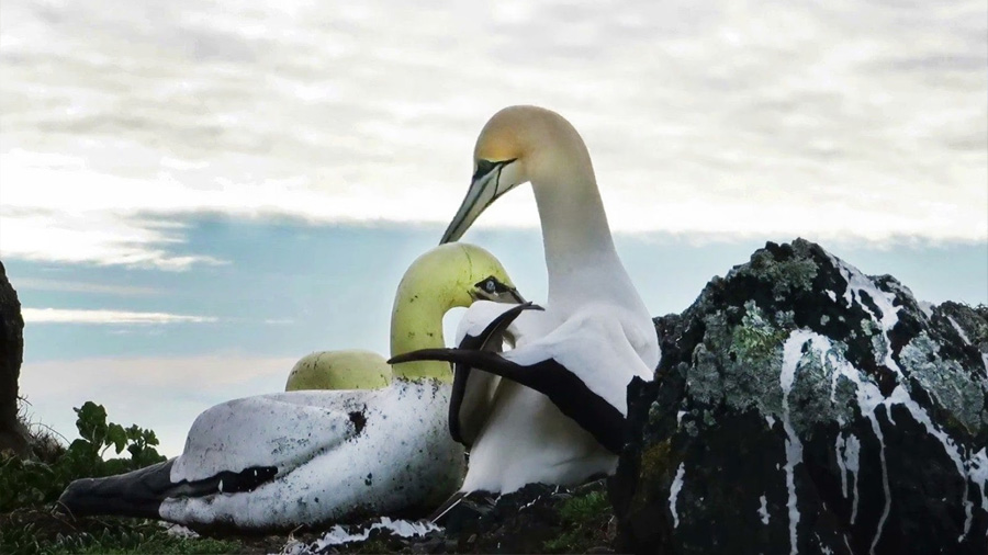 Nigel, el ave más solitaria del mundo que se enamoró de un alcatraz de hormigón, ha muerto junto a sus amigos de cemento