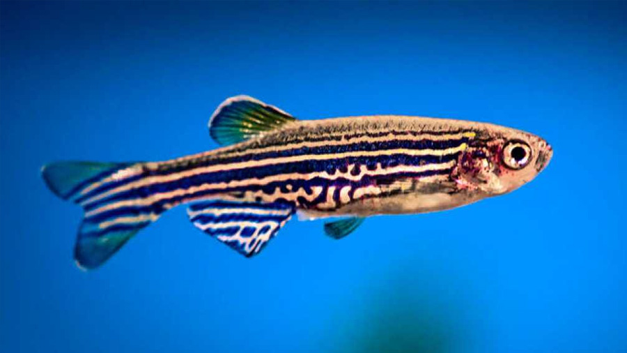 Describen cómo las células del pez cebra regeneran el corazón tras un infarto