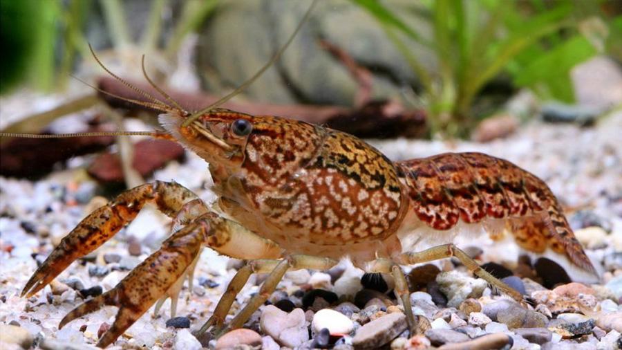 Descubren que el cangrejo de mármol es una especie mutante que se clona a sí misma y está invadiendo el mundo