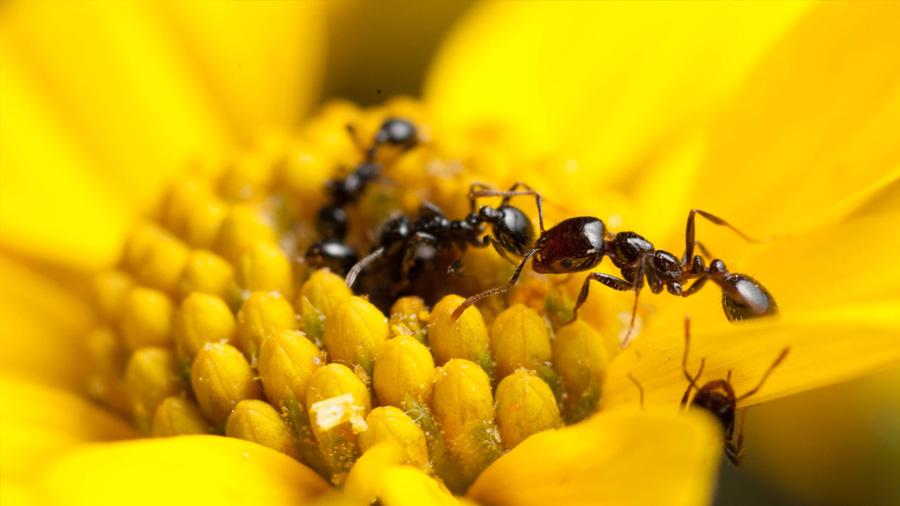 La hormiga ladrona produce antibióticos y puede inspirar a los humanos