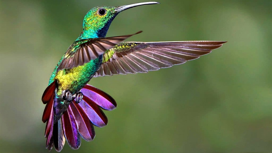 Desvelado el secreto del ágil vuelo del colibrí