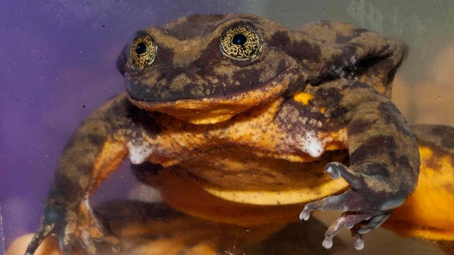 """La """"romántica"""" historia de Romeo, la rana que no encuentra pareja y podría ser la última de su especie"""