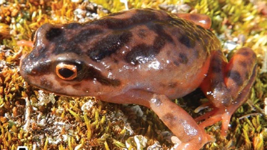 Una rana del tamaño de una uva es descubierta en los Andes peruanos