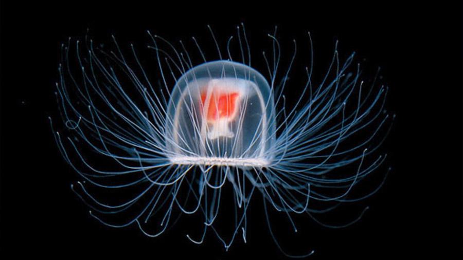 La misteriosa medusa de apenas 2 centímetros que puede vivir para siempre, según los científicos
