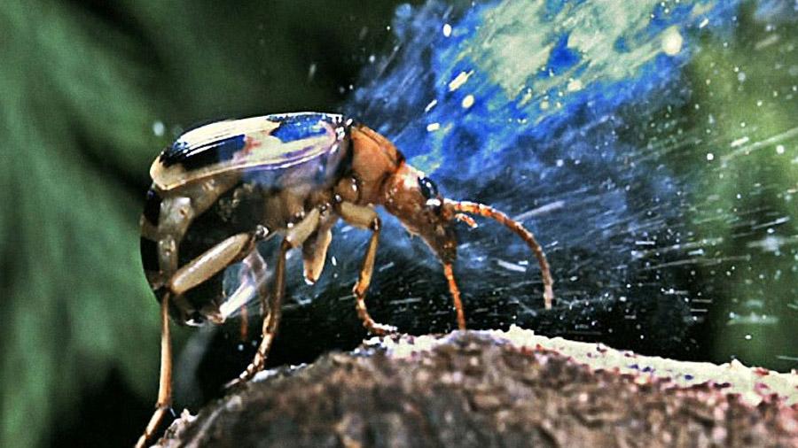 Este escarabajo puede librarse de un depredador causándole el vómito desde dentro de su estómago [VIDEO]