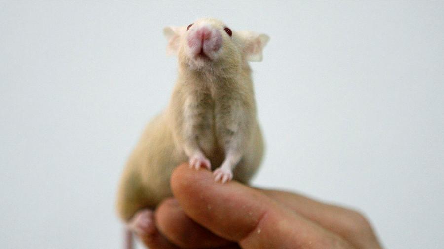 Eliminan en ratones la formación de placas amiloide, causantes del alzhéimer