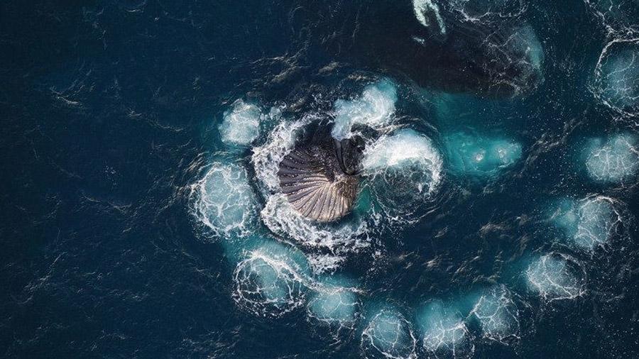 Un dron permite observar cómo ballenas jorobadas capturan su alimento de crustáceos con burbujas