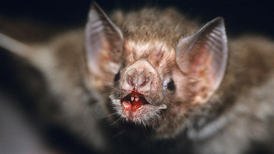 Descubren el secreto de los murciélagos vampiro y su dieta a base exclusiva de sangre