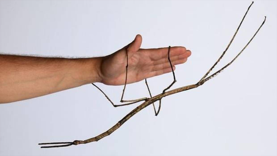 China cría el insecto más largo del mundo: 64 centímetros