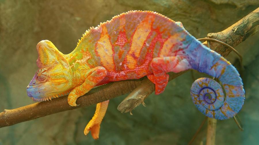 Científicos descubren líneas invisibles en la piel del camaleón