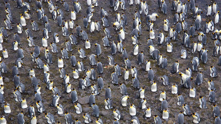 El pingüino rey, enfrentado al exilio o la muerte por el cambio climático