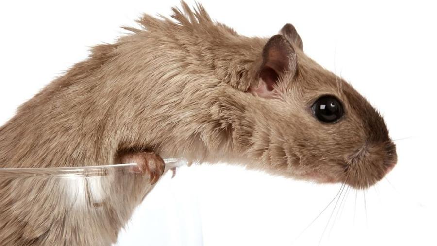 Una nueva técnica de ultrasonidos muestra el cerebro de roedores en acción