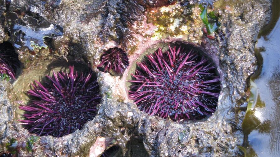 Los erizos de mar son los escultores de las rocas donde viven