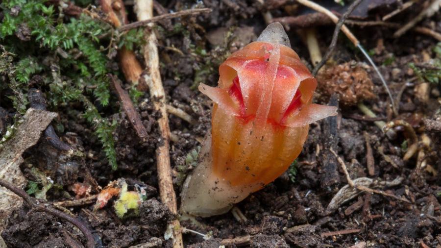 Extraña planta subterránea reaparece 150 años después de ser descubierta