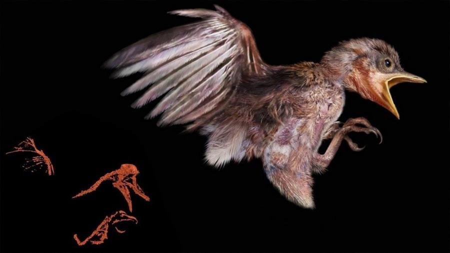 El fósil de un pollito de 127 millones de años ilustra la evolución aviar en la era de los dinosaurios