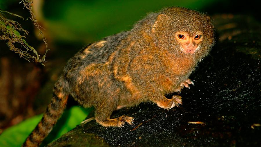 Descubren dos nuevas especies de mono leoncito
