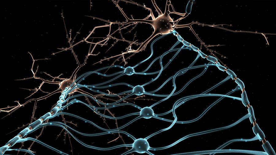 Un vídeo en tiempo real muestra cómo se reparan las neuronas tras sufrir un daño