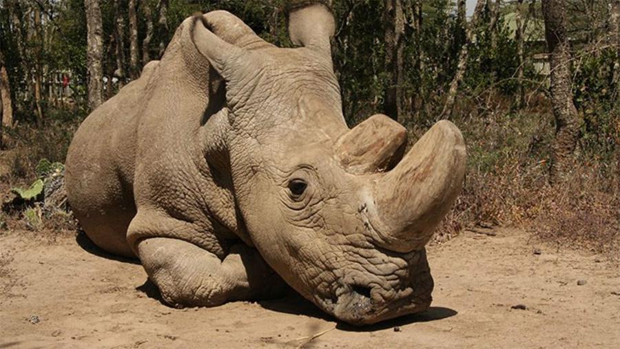 ¡Qué tristeza! Empeora salud del último rinoceronte blanco macho en el mundo