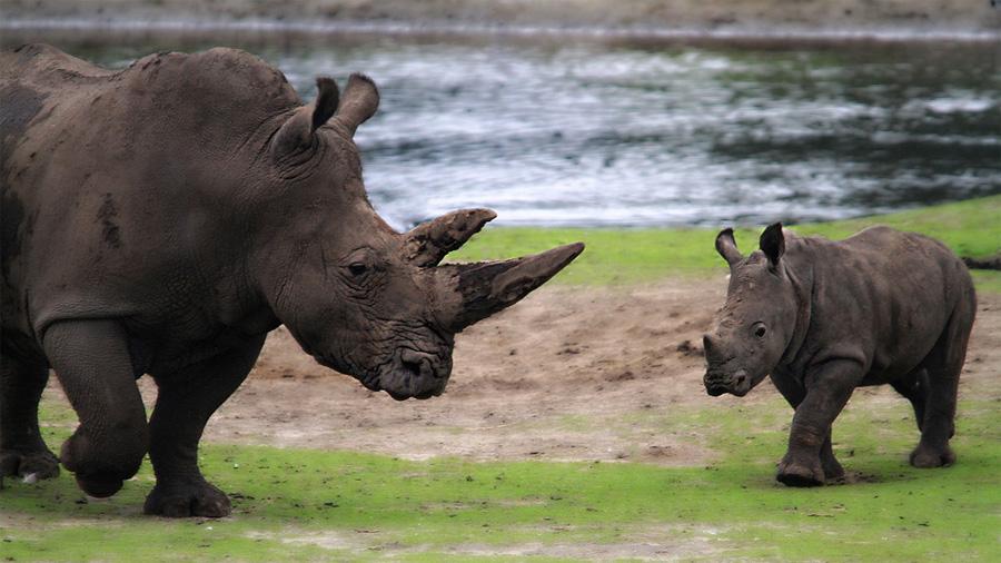 Científicos descubrieron de qué tratan las conversaciones de los pequeños rinocerontes