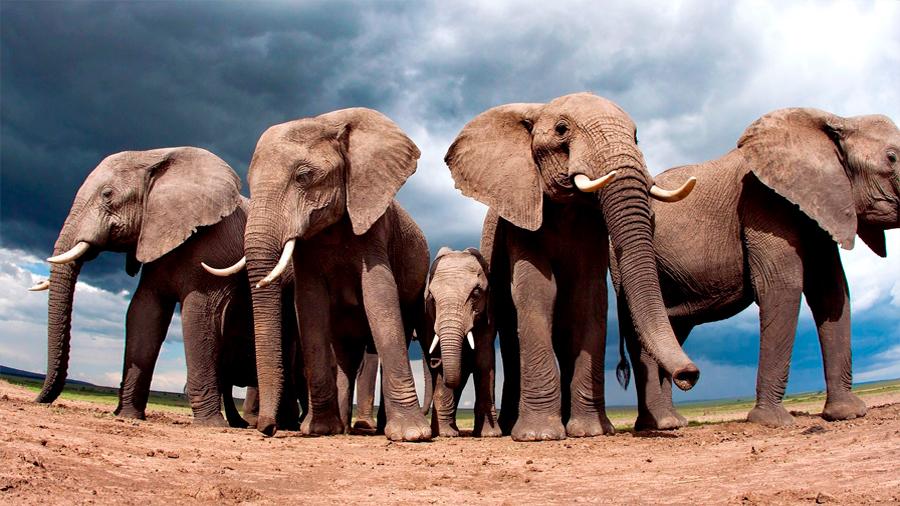 Los elefantes casi no tienen cáncer y un nuevo estudio descubre por qué