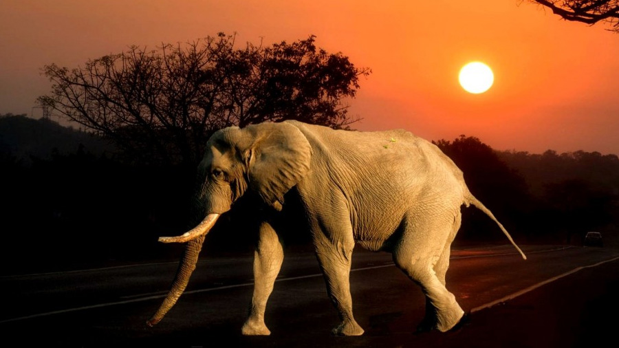 Elefantes se comunican entre sí, comparten traumas y viajan de noche para no ser cazados