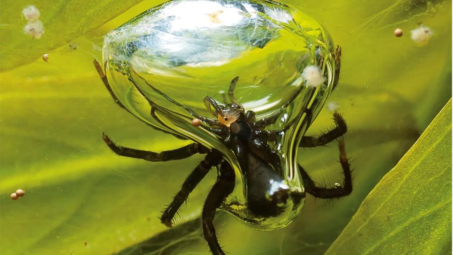 La increíble araña de agua que construye su casa subacuática con burbujas de aire