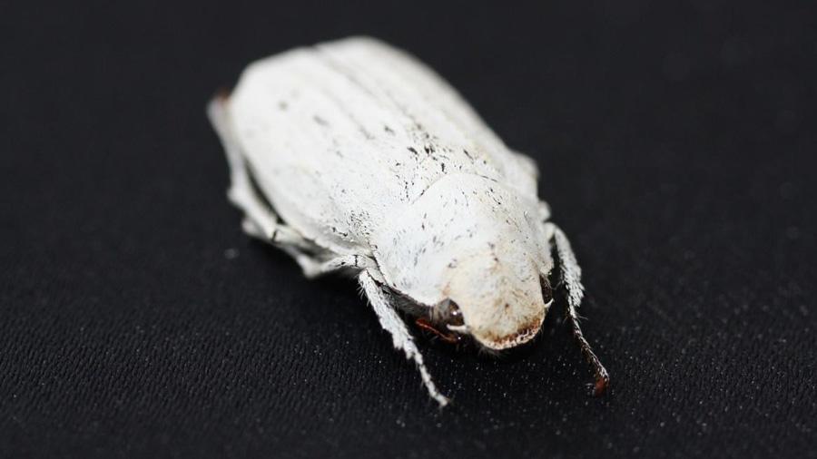 Crean el blanco más blanco del mundo gracias a un escarabajo y 20 veces más que el papel