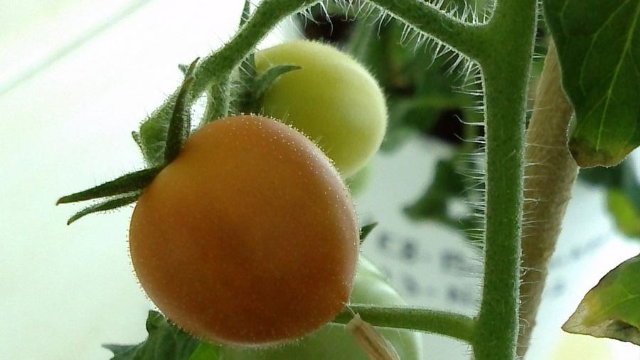 Consiguen científicos mexicanos tomate que disminuye hipertensión