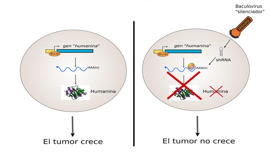 Frenan el crecimiento tumoral con ayuda de un virus de insectos