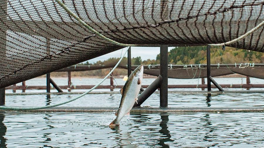Colores oscuros para que los salmones no se maten entre ellos