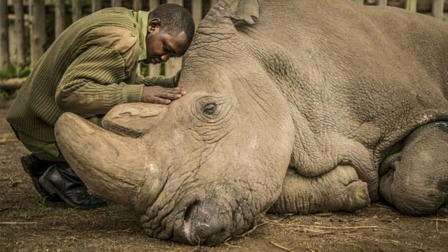Muere Sudán, el último macho de rinoceronte blanco del norte