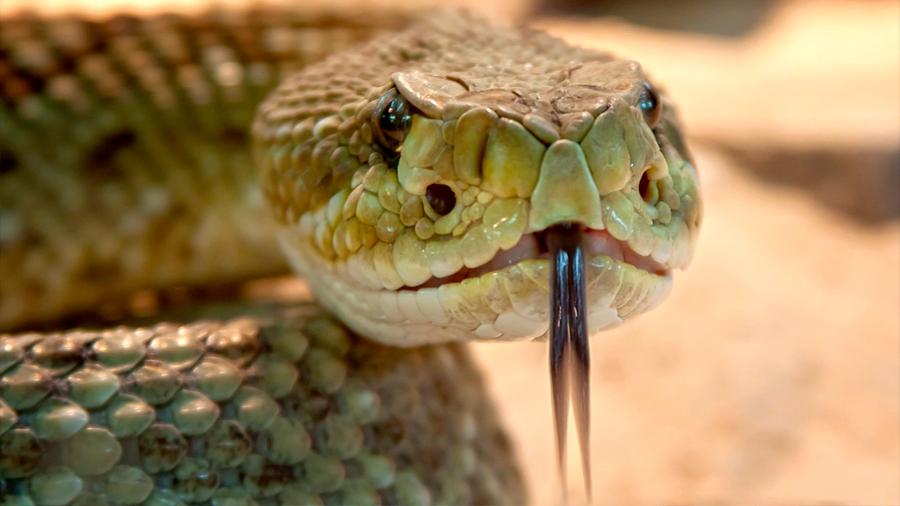 Un péptido del veneno de serpiente de cascabel 'muerde' a las superbacterias