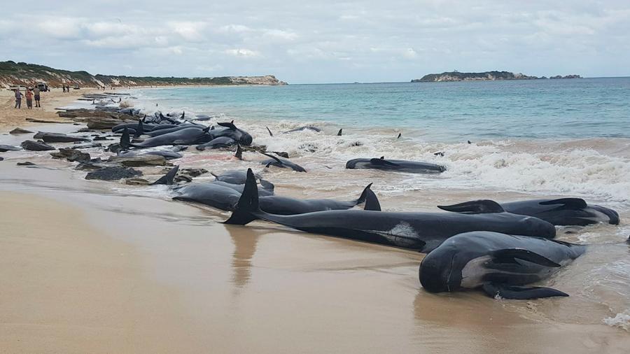 La impresionante imagen de 150 ballenas varadas en una playa de Australia