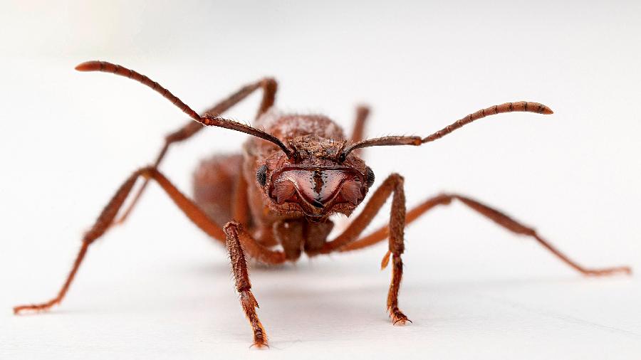 El esperma de las hormigas reconoce cuándo tiene competencia